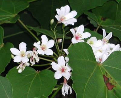 アブラギリ花-2.jpg