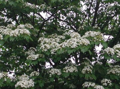 アブラギリ花-3.jpg