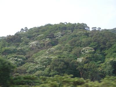 アブラギリ花-5.jpg